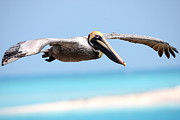Dry Tortugas Prints - Pelican at Dry Tortugas National Park Print by Jetson Nguyen