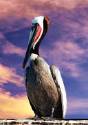 OLena Art - Pelican at Sunset