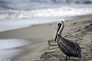 Bill Baer - Pelican Beach