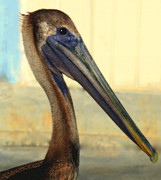 North Carolina Birds Prints - Pelican Bill Print by Karen Wiles