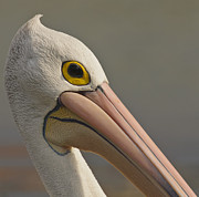 Australian Wildlife Prints - Pelican Close-Up Print by Michael  Nau