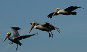 Shore Birds Photos - Pelican Collage by Ernie Echols