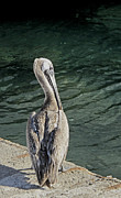 Ian  MacDonald - Pelican Contemplations