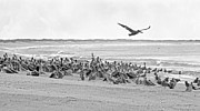 North Carolina Birds Prints - Pelican Convention  Print by Betsy A Cutler East Coast Barrier Islands