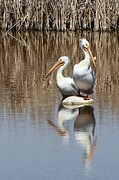 Nature Center Pond Photo Prints - Pelican Deuce Print by Diane Alexander