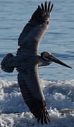 Den Decor Photo Prints - Pelican Flight Print by John Daly