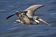 Dan Friend - Pelican flying over water