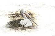 Seaweed Framed Prints - Pelican Framed Print by Holly Kempe