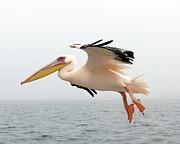 Ramona Johnston - Pelican in Flight