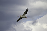 Fox Valley Photos - Pelican In Flight by Thomas Young