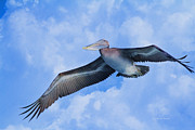 Waterbird Posters - Pelican in the clouds Poster by Deborah Benoit