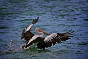 Australian Open Metal Prints - Pelican Landing Metal Print by Heng Tan