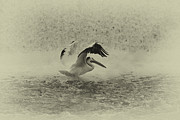 Pelican Landing In Black And White Print by Thomas Young