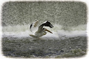 Appleton Photo Metal Prints - Pelican Landing in Color Metal Print by Thomas Young