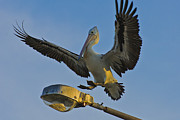 Pelican Landing Framed Prints - Pelican landing on Street Lights Framed Print by Michael  Nau