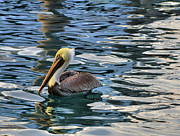 Waterway Birds Prints - Pelican Monet Print by Debra and Dave Vanderlaan