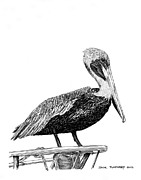 Pelican Drawings Framed Prints - Pelican of Monterey Framed Print by Jack Pumphrey
