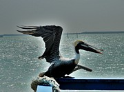 Terri Waselchuk - Pelican of South Padre