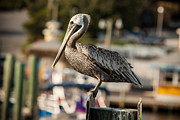 Panama City Beach Posters - Pelican on a Pole Poster by Paul Bartoszek