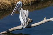 Garry Gay - Pelican On Branch