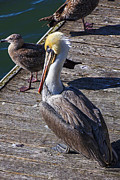 Seagull Photos - Pelican on dock by Garry Gay