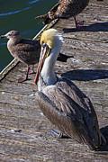 Pelican On Dock Print by Garry Gay