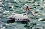 Tropical Bird Art Posters - Pelican on the Green Water Poster by Jenny Rainbow