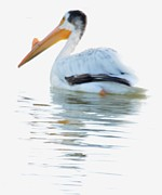 Bradley Poage - Pelican on Water 2