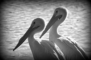 Laurie Perry - Pelican Pals