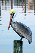 North Carolina Birds Prints - Pelican Perch Print by Benanne Stiens