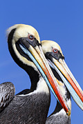 Heads Framed Prints - Pelican Perfection Framed Print by James Brunker