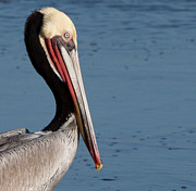 Den Decor Photo Prints - Pelican Profile Print by John Daly