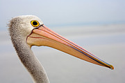 Pelican Metal Prints - Pelican Profile Metal Print by Mike  Dawson