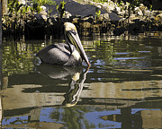 Sally Weigand - Pelican Reflected