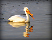 Pelican Pastels Framed Prints - Pelican Reflections Framed Print by Marcus Moller