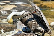 Florida Panhandle Photo Prints - Pelican Scratch Print by Adam Jewell