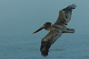 Brown Pelican Prints - Pelican Print by Sebastian Musial