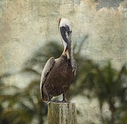 Fort Myers Prints - Pelican - Sitting Around Print by Kim Hojnacki