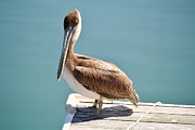 Pelican - Sitting On The Dock Of The Bay Print by Thomas Photography  Thomas