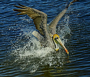 Larry Nieland - Pelican Splash
