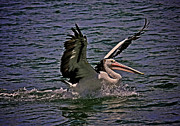 Australian Open Metal Prints - Pelican Splashdown Metal Print by Heng Tan