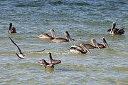 Group Of Birds Originals - Pelican Squadron by Patricia Twardzik