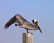 Al Powell Photography Usa Posters - Pelican Stretch Poster by Al Powell Photography USA