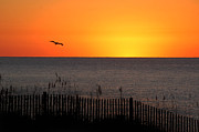 Beach Fence Digital Art Posters - Pelican Sunrise Poster by Michael Thomas