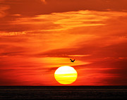 Al Powell Photog Posters - Pelican Sunset Poster by Al Powell Photography USA