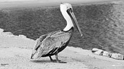 Fed Prints - Pelican  Print by Teresa Parker