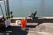 Frisco Pier Photos - Pelican Thief at San Francisco Torpedo Wharf Fishing Pier 5D21667 by Wingsdomain Art and Photography