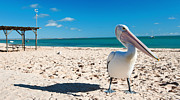 Monkey Mia Photos - Pelican under blue sky by Yew Kwang