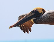 Dry Tortugas Prints - Pelican up close in flight Print by Jetson Nguyen