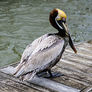 Shallowbag Bay Prints - Pelican Watch Print by Gregg Southard